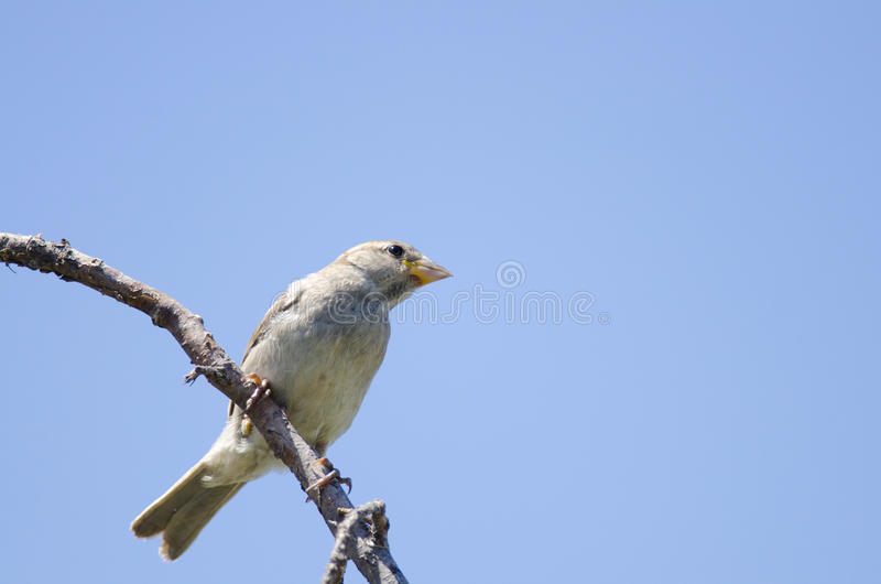 Zielony finch (carduelis chloris) obraz stock