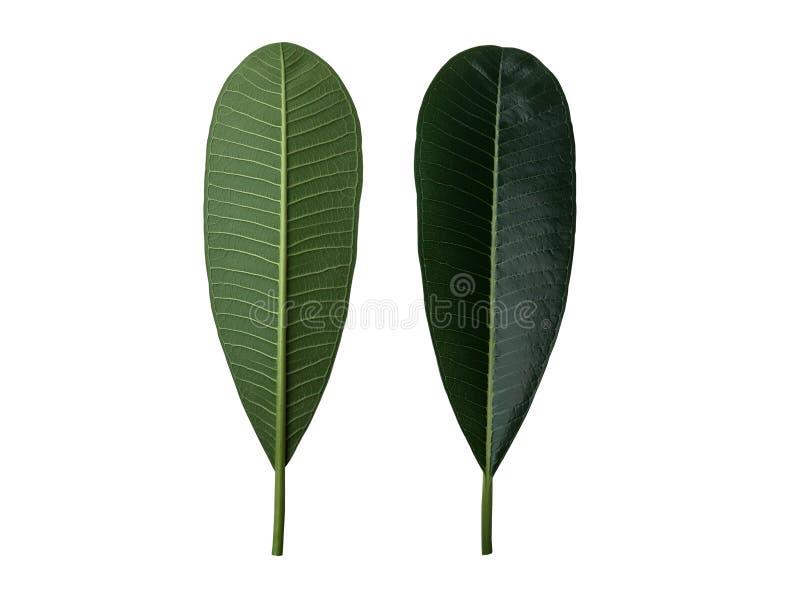 Zielony frangipani lub plumeria liść ustawiający przód i plecy odizolowywający na białym tle royalty ilustracja