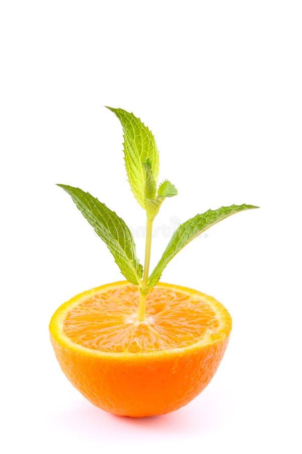 zielony gaj odizolowywająca pomarańczowa roślina pomarańczowy zdjęcie stock