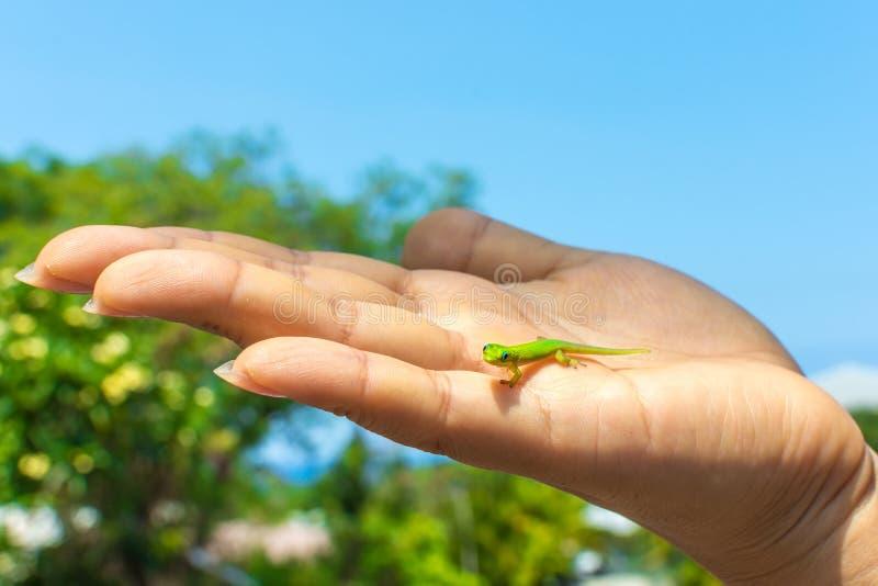 Zielony gekon w palmie ręka obraz royalty free
