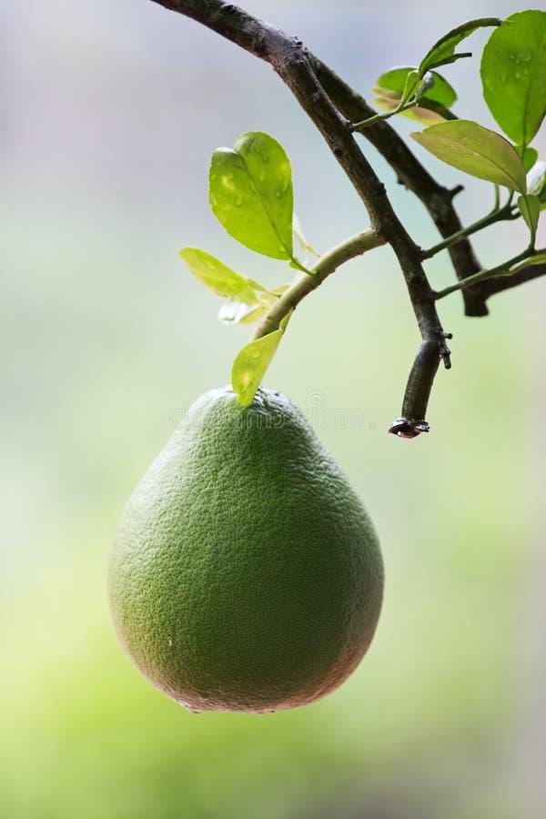Zielony Grapefruitowy zdjęcie stock