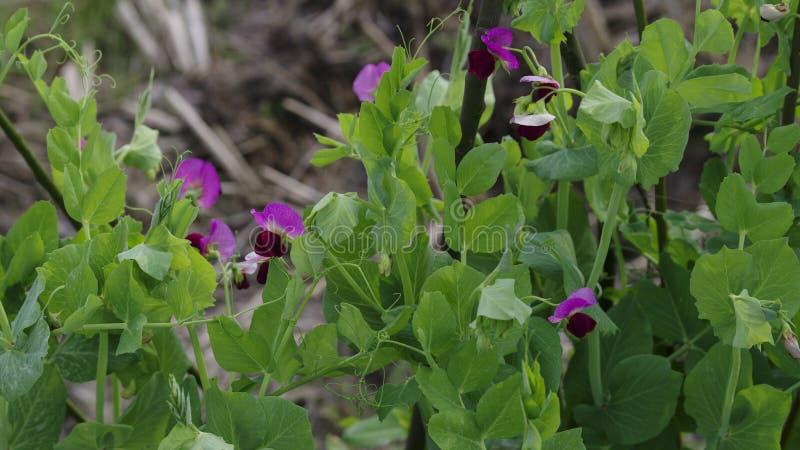 Zielony groch i purpura kwiaty kiełkujemy zdjęcie royalty free