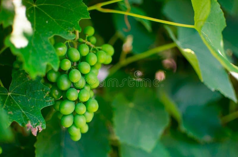 Zielony gronowy Vitis - Vinifera obrazy stock