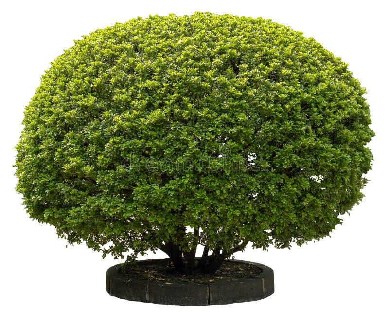 zielony holly zdjęcie stock
