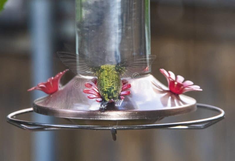 Zielony Hummingbird przy ptasim dozownikiem unosi się z plecy w kierunku kamery obraz stock