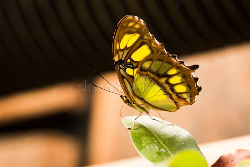 Zielony i żółty motyli odpoczywać na liściu obraz stock