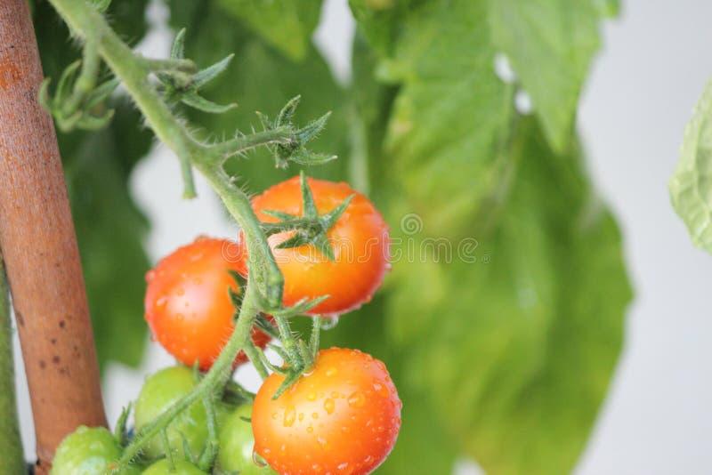 """Zielony i pomaraÅ""""czowy pomidor wiszÄ…cy na roÅ›linie dojrzewajÄ…cej w ogrodzie spożywczym zdjęcie royalty free"""