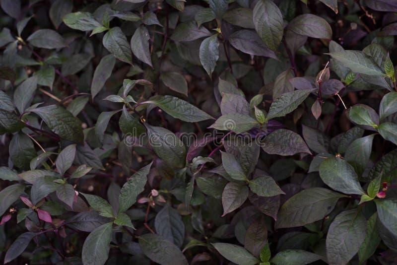 Zielony i purpurowy liść tekstury tło z światłem za obrazy royalty free
