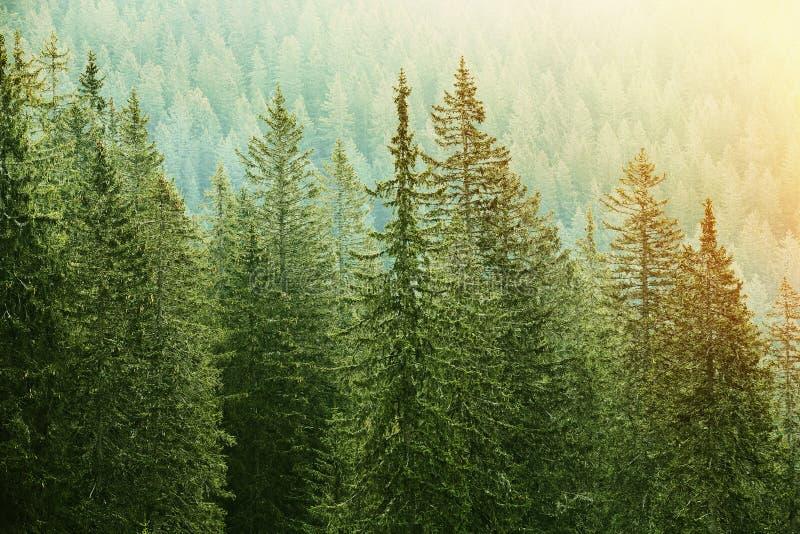 Zielony iglasty las zaświecający światłem słonecznym fotografia royalty free