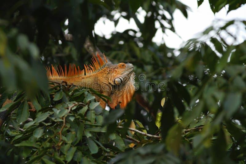 Zielony iguany obsiadanie na gałąź w tropikalnym lesie deszczowym, Costa Rica, jaszczurki głowa w górę widoku Mali dzikich zwierz fotografia stock