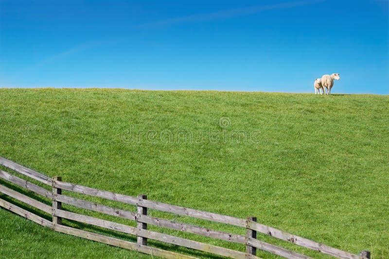 zielony jagnięcy łąkowy barani mały obrazy royalty free
