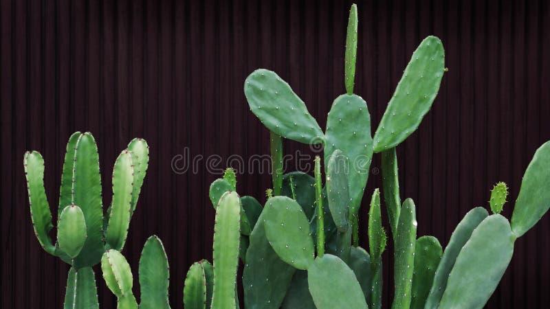 Zielony kaktus i soczyste rośliny pustynne na tle ciemnych ścian drewnianych, ozdobna roślina domowa w nowoczesnym domu obrazy royalty free