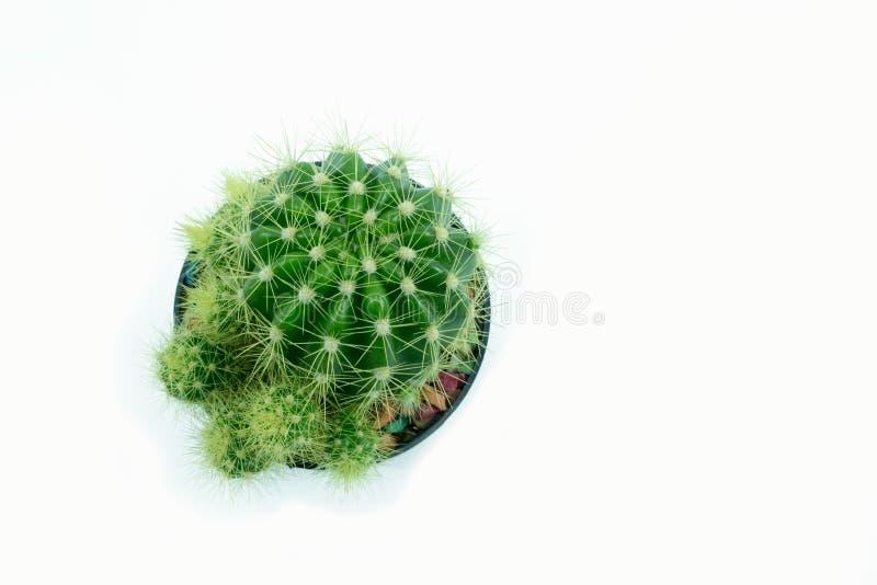 Zielony kaktus w flowerpot obrazy stock