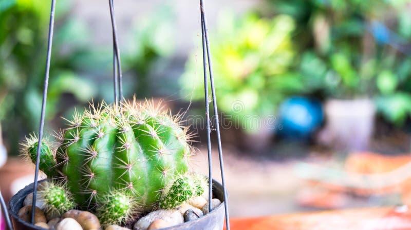 Zielony kaktus w ogródzie fotografia stock