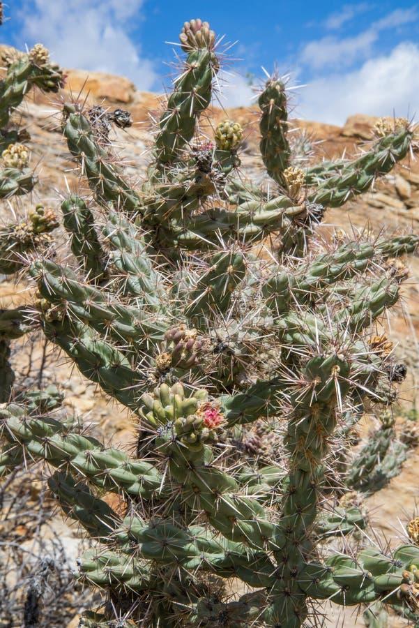Zielony kaktus w pustyni zdjęcia royalty free