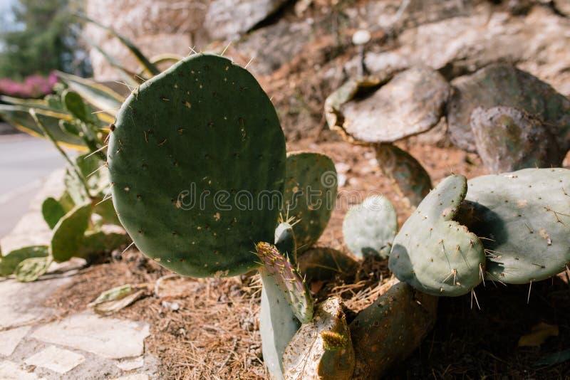 Zielony kaktus z prickles w podwórzu dom w południowym Francja zdjęcia royalty free