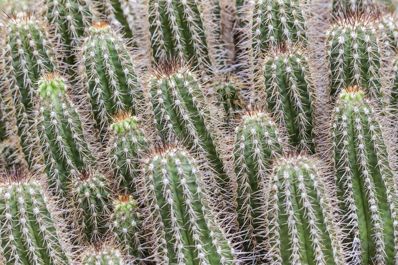 Zielony kaktusowy tło, grupa sukulenty obraz stock