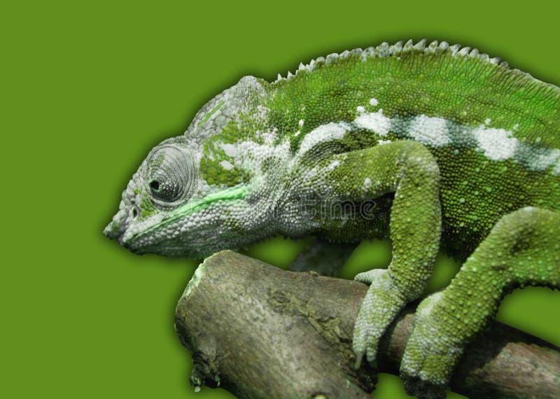 ZIELONY kameleon NA ZIELONYM tle zdjęcie stock