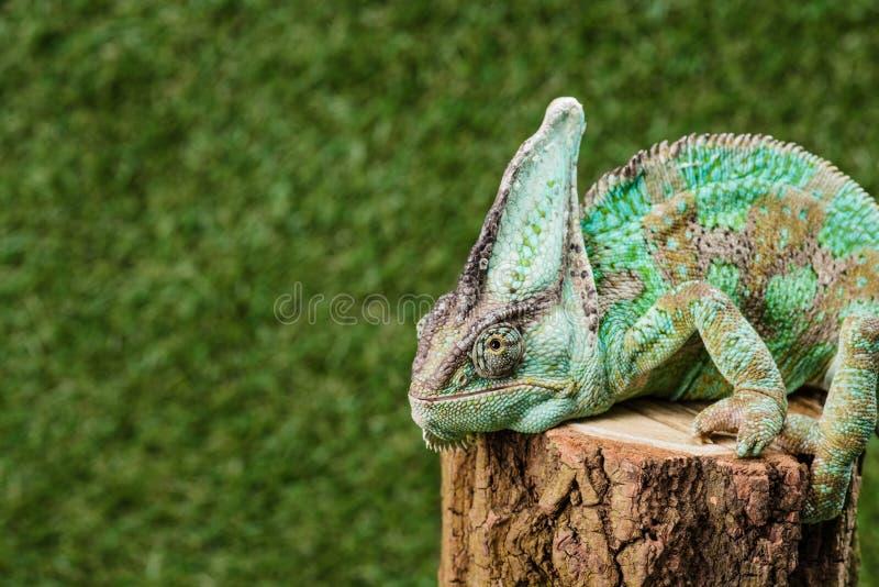 zielony kameleon z kamuflaż skóry obsiadaniem obraz royalty free
