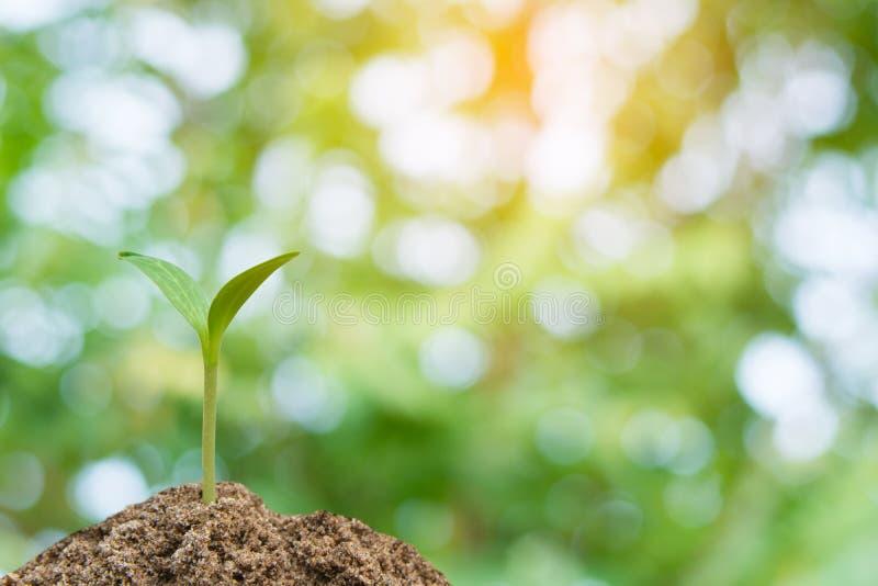 Zielony kiełkowy dorośnięcie, młoda roślina od ziemi z światłem słonecznym i Zielony plamy natury tło, zdjęcie stock