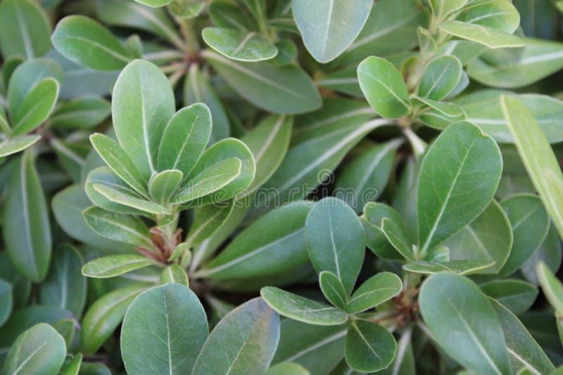Zielony klingeryt kwitnie w ogródzie zdjęcie stock