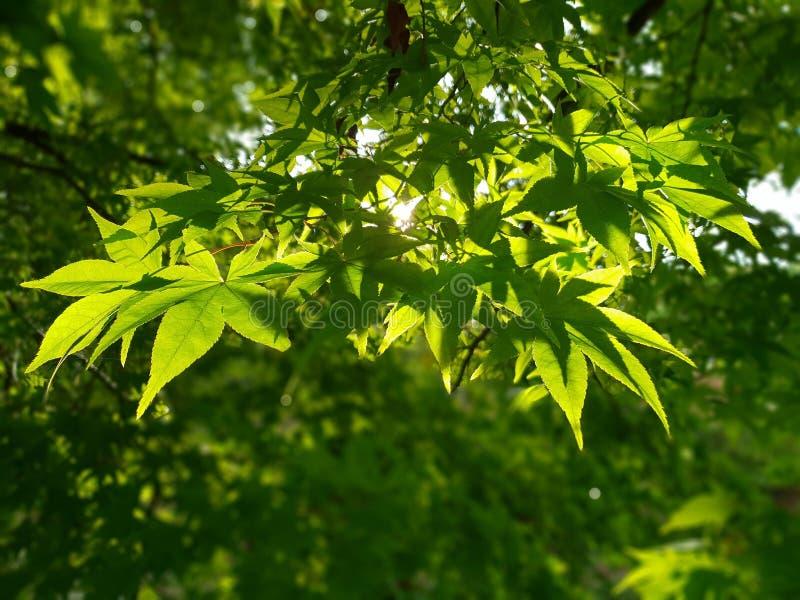 zielony klonowy drzewo obraz royalty free