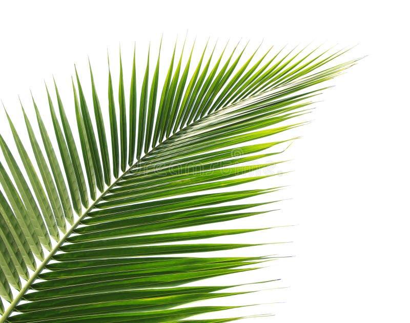 Zielony kokosowy liść na białym tle fotografia stock