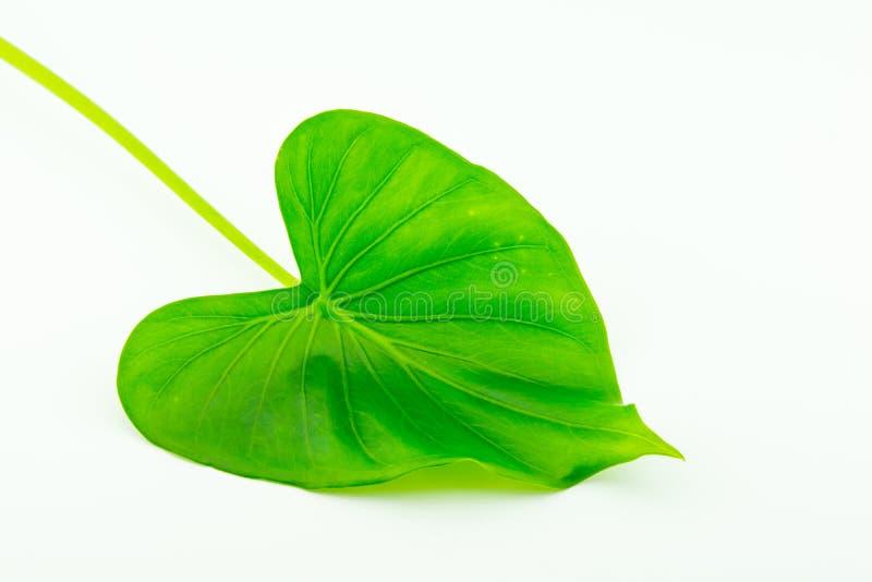 Zielony koniczynowy liść odizolowywający na bielu zdjęcie stock