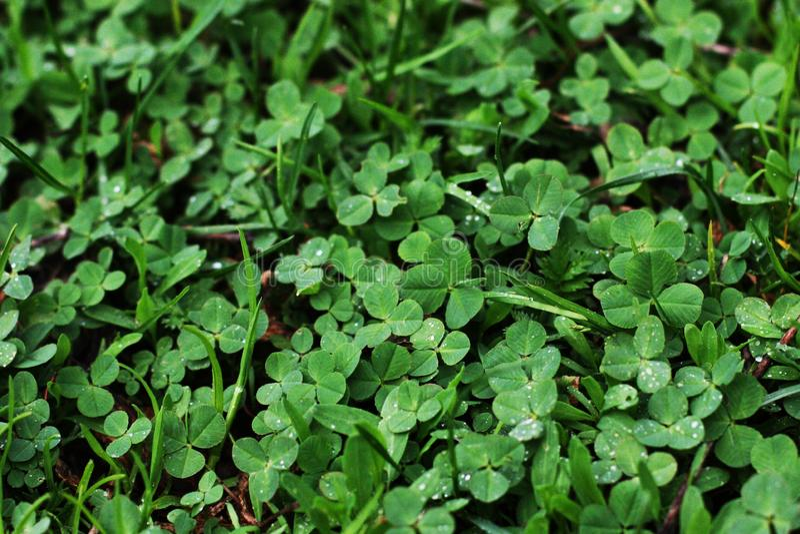 Zielony koniczynowy liść tekstury wzoru tło Irlandzki Tradycyjny symbol dzie? Patrick st fotografia stock