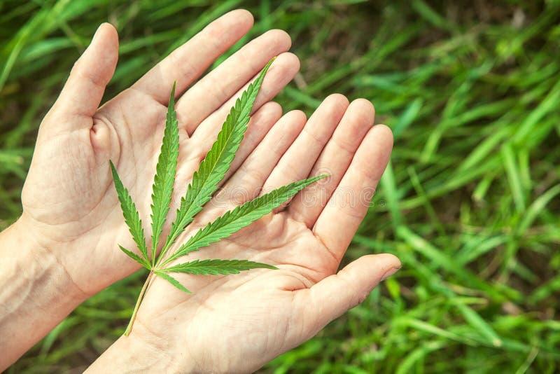 Zielony konopie s na rękach fotografia royalty free
