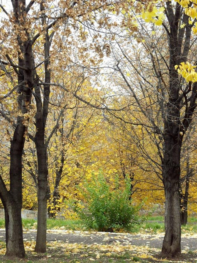 Zielony krzak blisko złocistych jesieni drzew obraz royalty free