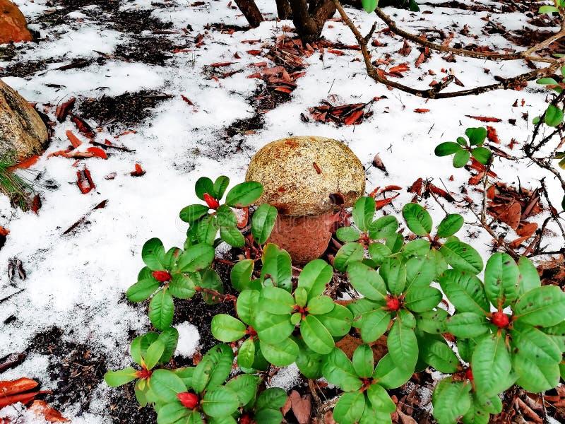 Zielony krzak i śnieg, piękny życie wciąż obrazy royalty free