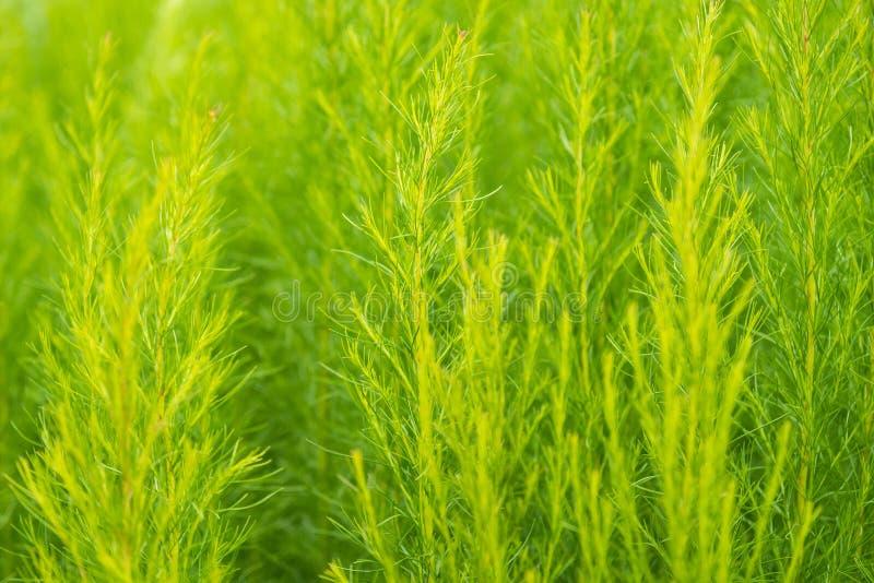 Zielony krzak Shatavari (Asparagus Racemosus Willd) w ogródku fotografia stock