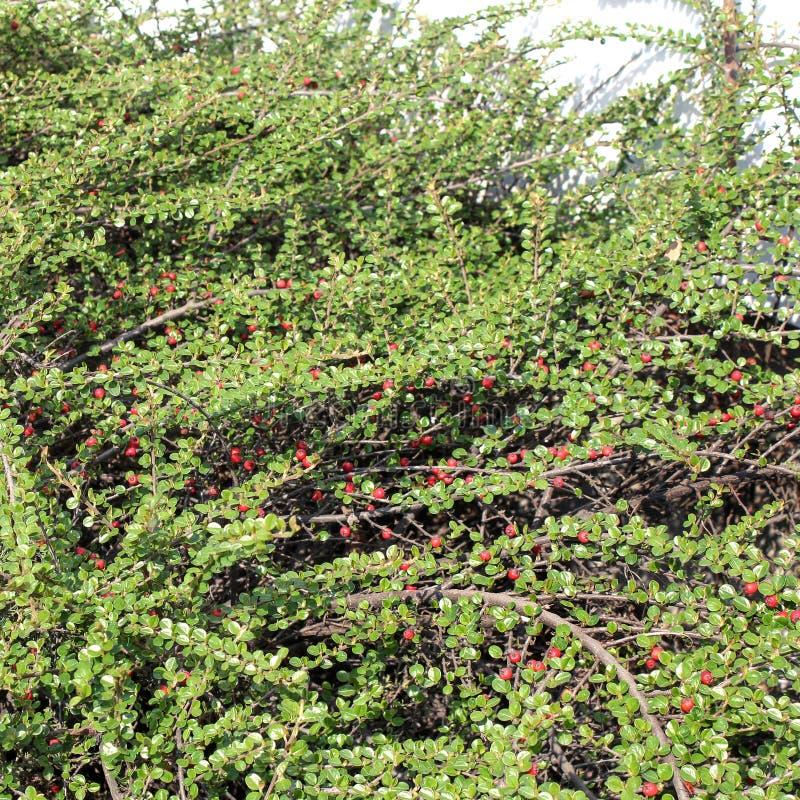 Zielony krzak z czerwonym jagody tłem obraz stock