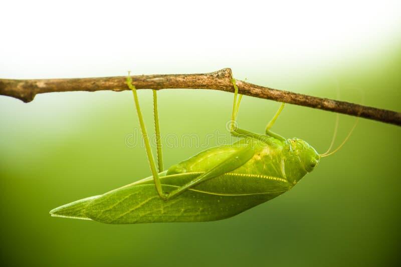 Zielony krzaka krykiet, katydid lub długorogiego pasikonika insekta rodzinny Tettigoniidae dołączający gałąź drewniany kij, fotografia stock
