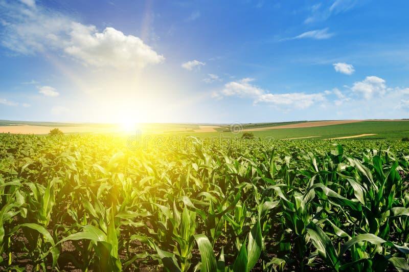 Zielony kukurydzany pole i jaskrawy słońce wzrastamy przeciw niebieskiemu niebu obrazy stock