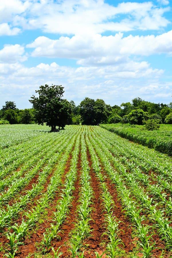 Zielony kukurydzany pole i niebieskie niebo obrazy stock