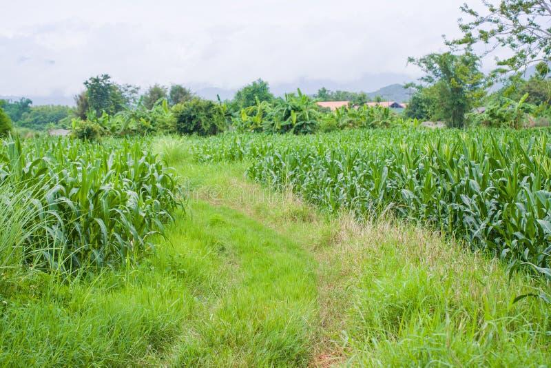 Zielony kukurydzany pole, niebieskie niebo i mgła, obrazy stock
