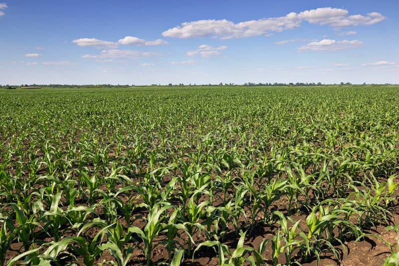 Zielony kukurydzany pole, niebieskie niebo i słońce na letnim dniu, obrazy stock