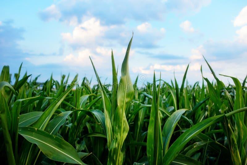 Zielony kukurydzany pole, niebieskie niebo i słońce na letnim dniu, obrazy royalty free