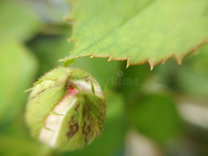 Zielony kwiatu pączek i serrated krawędź zielony liść wzrastaliśmy, makro- obraz royalty free