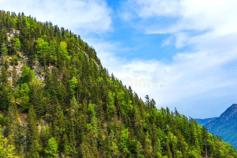 Zielony las świerczyna i drzewa w lecie obrazy royalty free