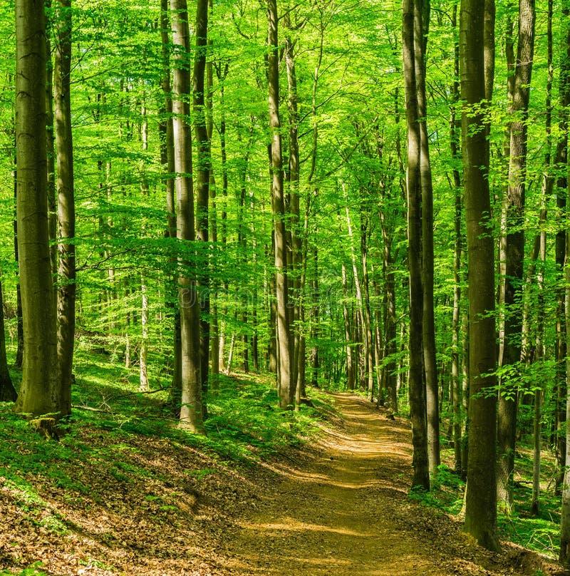 Zielony las przy wiosną, idylliczna ścieżka przez drzew z świeżym ulistnieniem obrazy stock