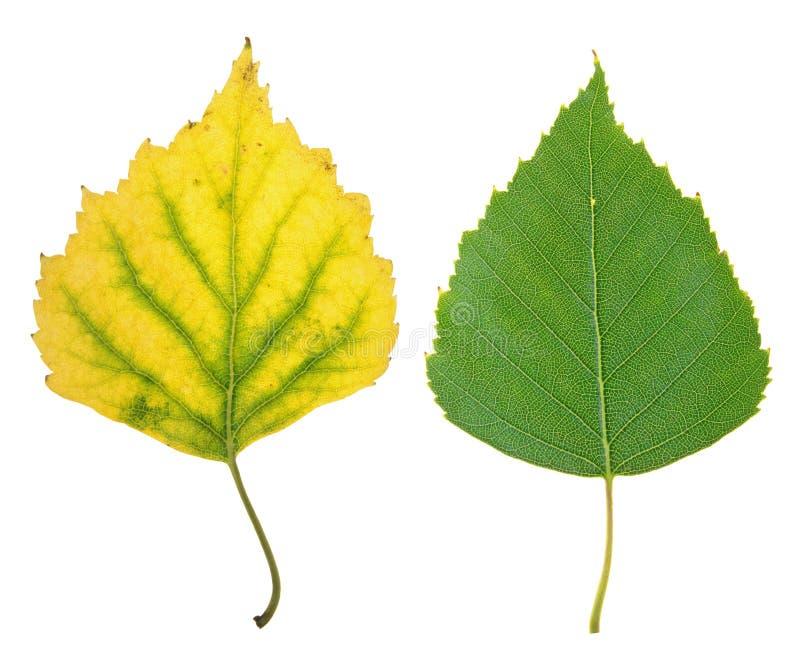 Zielony lata i kolor żółty jesieni liść odizolowywający na bielu brzoza zdjęcie stock