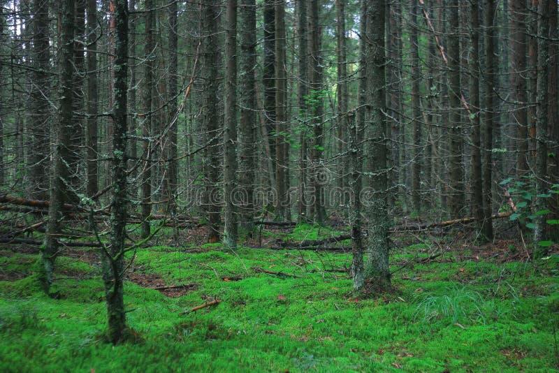 Zielony lato świerczyny las zdjęcie royalty free