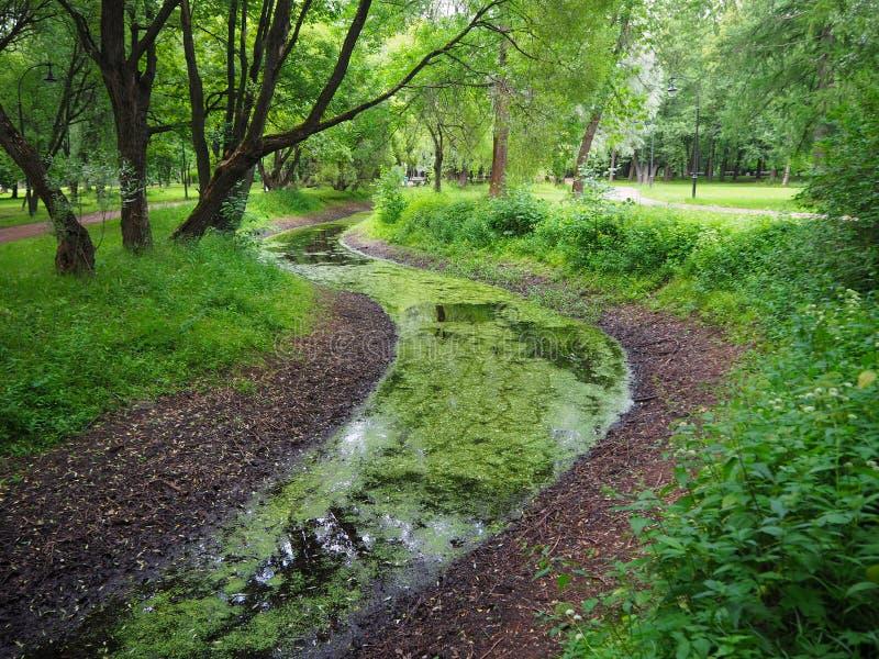 Zielony lato las i marshy zakrywający cewienie zieleniejemy rzekę obrazy stock