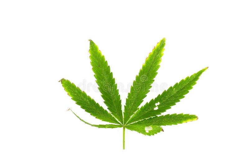Zielony liść canabis na białym tle zdjęcia royalty free