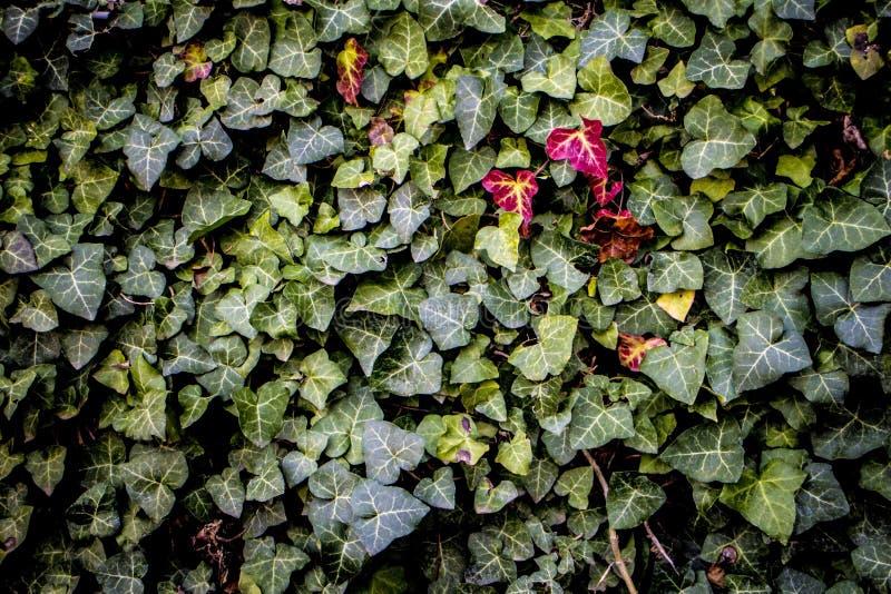 Zielony liść czerwieni liść obraz stock