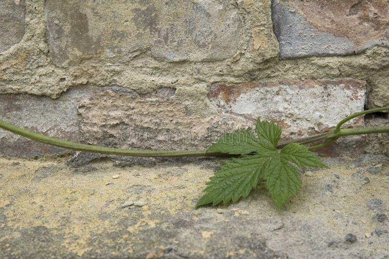 Zielony liść na kamień tekstury zmielonym tle obraz royalty free