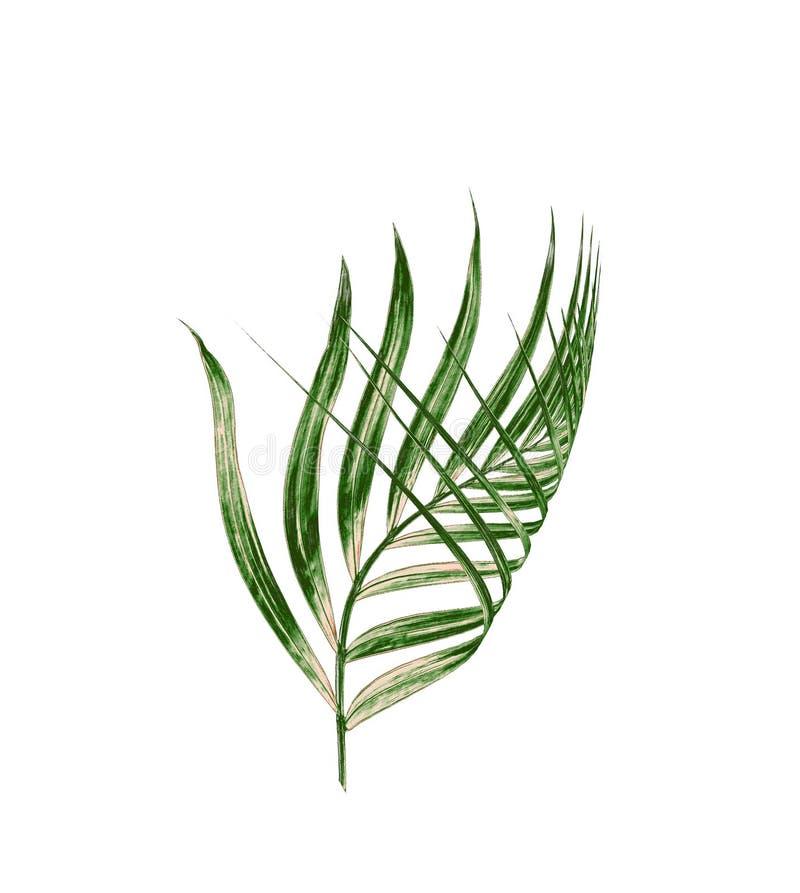 Zielony liść odizolowywający na białym tle drzewko palmowe fotografia royalty free